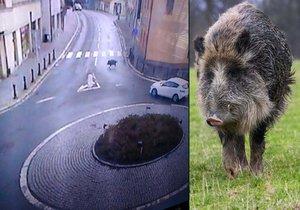 Divoká prasata se proháněla centrem Kolína: Vyběhli z Pekla