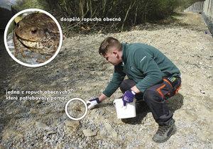 Mezi žábami byly převážně ropuchy obecné.