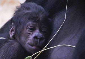 Pražskou zoo přepadlo překvapení: Neplodná samice porodila