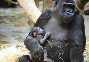 Gorilí samice má z mláděte radost.