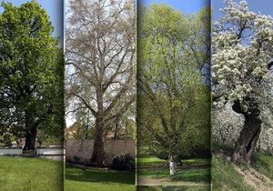 5 nejvýznamnějších pražských stromů