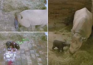 Jasmína porod zvládla sama. 32kilové mládě nosorožce mají ve Dvoře Králové