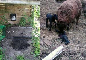 Beránek se mi potácel naproti a táhl za sebou střeva: Neznámý pachatel brutálně zavraždil dvě ovce