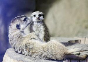 V pražské zoo zjistíte, jestli jste rychlejší než surikaty.