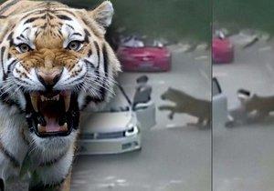 Kamery v čínském Safari zachytili útok tygrů na ženu, která vystoupila z auta.