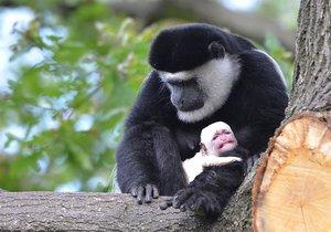 Gueréza Lucie s mládětem, které se narodilo v trojské zoo.