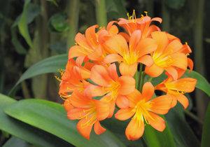 Věnujte klívii náležitou péči a ona se vám odmění nádhernými květy.