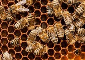 Včely (ilustrační foto)