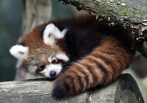 Ve zlínské zoo se narodila mláďata pandy červené.