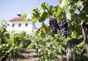 Botanická zahrada hl. m. Prahy slaví jubilejních 50 let existence. Při té příležitosti představila i speciální víno z vlastních vinic - Natalis.(ilustrační foto)