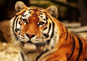 Devatenáctiletá tygřice Maja se přestěhovala z Ostravy do Prahy.