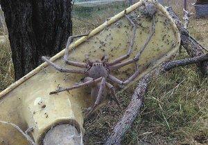Mohutnost pavouka dokládá smeták, po kterém leze.