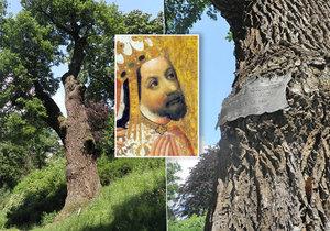 Dub letní Karel v pražských Kolodějích se pyšní věkem 550 let. Pamatuje i Jiřího z Poděbrad.