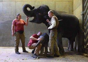 Chovatelé u sloního benjamínka zjistili kýlu.