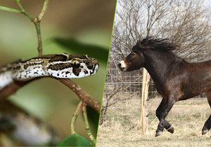 Koni se podá hadí jed všech hadů z dané oblasti, jelikož kůň je schopen reagovat imunitně proti složkám jedu. Pak se mu odebere sérum, které se vyčistí.