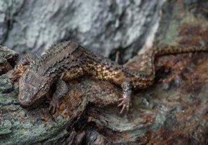 Varanovec bornejský je jediným zástupcem rodu varanovec. Ten se vyskytuje výhradně na ostrově Borneo.