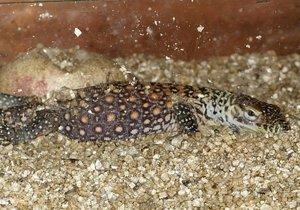 Prvním letošním mládětem v pražské zoo je varan Kámasútra.
