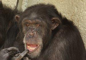 Brněnská zoo má nyní tři šimpanze. Na snímku je pan Troglodytes.
