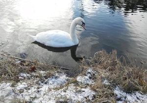 Na ptačí chřipku uhynula labuť liberecké zoo (ilustrační foto).