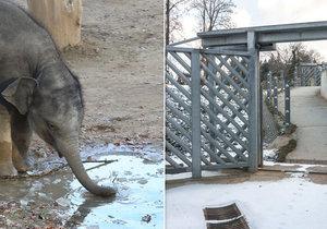 Sloni z pražské zoo mohou ven i v zimě, neuklouznou díky vyhřívanému chodníku.