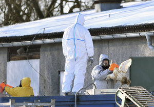 V Česku řádí ptačí chřipka