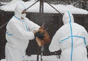 Veterináři začali 1. února v poledne likvidovat asi 17.000 kusů drůbeže napadených ptačí chřipkou v komerčním chovu ve Vlachově Březí na Prachaticku. Jde o farmu PT s.r.o.