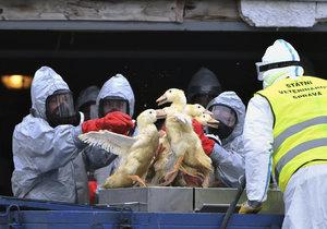 V Zárybech u Prahy veterináři vybili 160 kusů drůbeže kvůli ptačí chřipce.