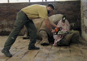Nosorožcům řežou rohy motorovkou. Dvorská ZOO je chce chránit před pytláky