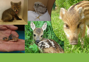 Která mláďata potřebují Vaší pomoc? Lidé někdy nosí zvířata do záchranných stanic zbytečně.