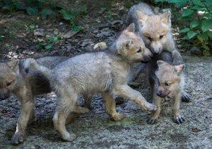Mapování rysů, vlků a medvědů v Beskydech potvrdilo, že počty těchto vzácných zvířat v posledních letech stagnují.