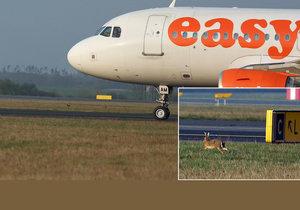 Zajíci jeden přes druhého hopsají po Letišti Václava Havla v pražské Ruzyni sem a tam. Jediným, kdo na ně platí, jsou vycvičení dravci a psi.