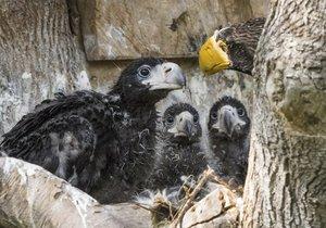 Vzácná trojčata orlů východních mohou návštěvníci vidět ve voliéře ve spodní části zoo.