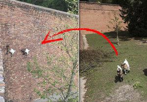V Brně je možné všechno: Na zdi pod Špilberkem dvě kůzlata šplhají po kolmé stěně jako by nic.