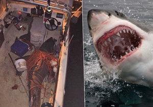 Žralok měřil téměř tři metry a vážil 200 kilo.