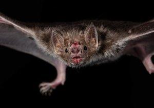 Byt plný netopýrů mohou mít v těchto dnech Brňané, kteří si nechají otevřenou ventilačku, ve které schází síť proti hmyzu. Ilustrační foto.