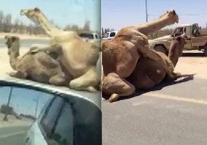 Velbloudi zpomalili dopravu u Dubaje kvůli sexuálním radovánkám.