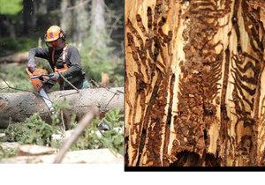 Loni v Česku došlo k rekordní těžbě kůrovcového dřeva.