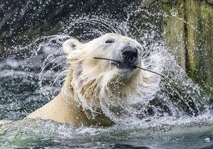 Zoo Praha oslaví Mezinárodní den ledních medvědů.