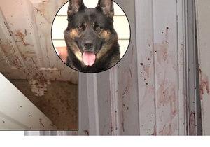 Německý vlčák Oden potrhal zloděje, který se vloupal do domu jeho páníčků.