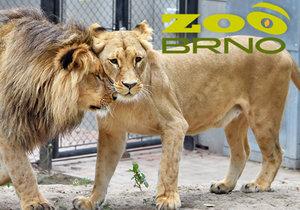 Po 14 letech se do brněnské zoo vrátili lvi konžští!