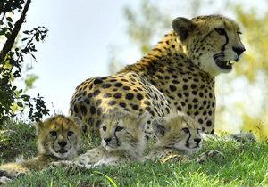 V pražské zoo pojmenovali gepardí paterčata.