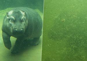 Vlevo je Fanda v bazénku těsně po čištění, vpravo je Fanda v bazénku po nějaké době dovádění.