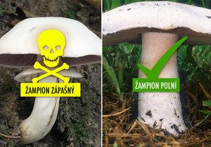 Žampion zápašný vyvolává bouřlivé střevní reakce, houbaři si jej pletou se žampionem polním.