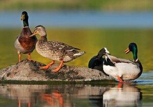 Kachna divoká je společně s labutí nejpočetněji zastoupeným druhem ptactva. Přesto jich ornitologové letos napočítali sotva pár set.
