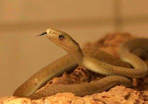 Mamba černá je jedovatý had.