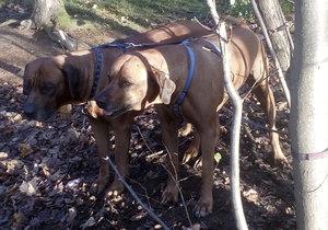 Tyhle krasavce někdo přivázal ke stromu a nechal je napospas svému osudu.