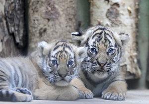 Malí tygříci malajští z pražské zoo se mají čile k světu.
