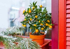 V zimě dohlédněte, aby rostlina při větrání netrpěla průvanem.
