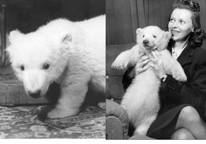 První pražské medvídě jménem Sněhulka vychovávala doma rodina ředitele zoo během protektorátu.