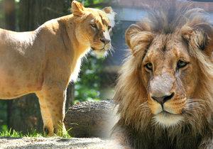 V brněnské zoologické zahradě se v noci na dnešek narodila samici lva konžského Kivu dvě mláďata.